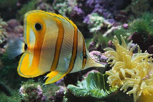 tropical-fish-discus-500x500